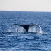 Thumbnail image for Whale Watching on Oahu