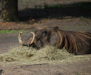 Warthog in Straw, Animal Kingdom