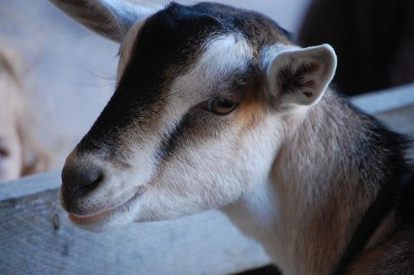 Goat at Shelburne Farms