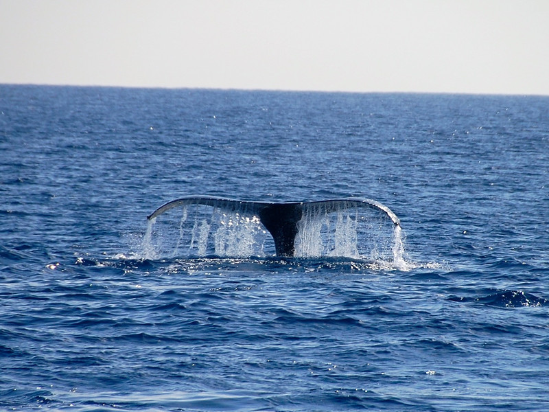 Post image for Whale Watching on Oahu