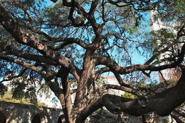 The Alamo oak tree